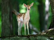 灵气十足的梅花鹿动物壁纸