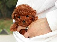 超萌可爱的茶杯犬图片欣赏