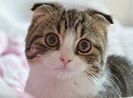 可愛折耳貓求抱抱圖片