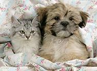 拉萨犬可爱温柔写真图片