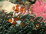 小丑魚珊瑚海洋動植物圖片