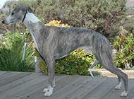 纯种惠比特犬帅气个性特写图片