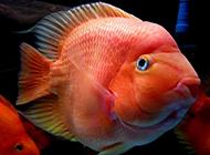 海南財神鸚鵡魚圖片壁紙精選