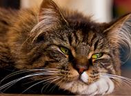 狸花猫慵懒歇息图片