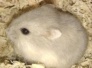 奶茶倉鼠的圖片萌萌噠