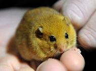 精致小巧的睡鼠图片