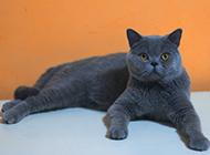 蓝色英短猫图片神态优雅可爱