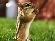 可爱的小松鼠吃东西高清图片