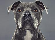 凶猛黑色比特犬正面图片