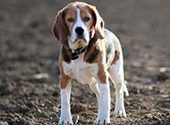 英国比格犬狗行走图片