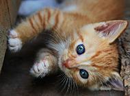 可愛調皮的中華田園貓幼貓圖片