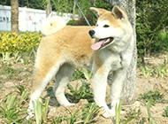 機警聰明的成年秋田犬圖片