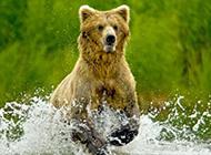 阿拉斯加灰熊争夺捕捉鲑鱼最佳位置大打出手