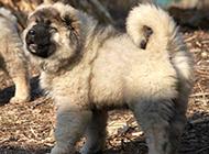 活泼好动的高加索犬幼犬图片