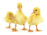 三只可爱呆萌的小鸭子图片