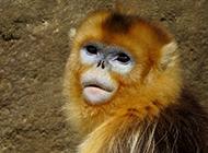 可愛金絲猴高清攝影圖片
