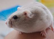 奶茶倉鼠可愛的圖片