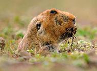 中华鼢鼠草原觅食图片
