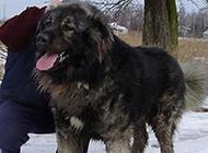 最強壯的狗俄羅斯高加索犬圖片