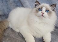 最美布偶猫图片惹人爱