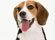 超萌的狗狗比格犬图片欣赏