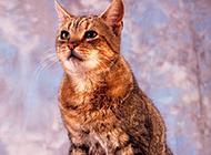 成年虎斑猫唯美写真图片