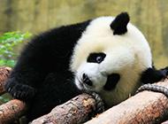 淘气的大熊猫高清图片