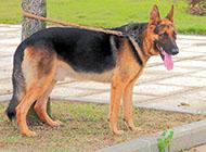 黑背犬图片5个月高大身姿图片