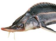 动物图片鸭嘴鲟鱼头部特写