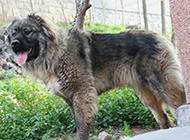 純種長毛高加索犬圖片