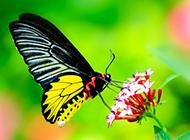 蝴蝶采蜜的高清摄影图片