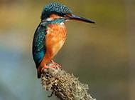 斑头翠鸟池塘捕食图片