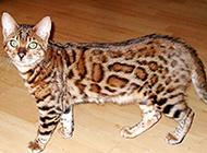 體型勻稱的純種豹貓圖片