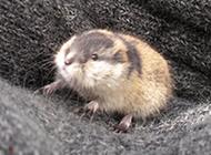 小巧溫馴的北極旅鼠圖片