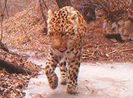 探秘太行山深處:鮮為人知的中國花豹樂園