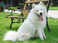 薩摩耶犬可愛頑皮圖片