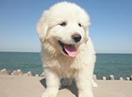 毛茸茸的狗大白熊犬幼犬圖片