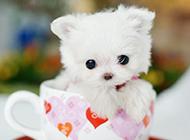 讨人喜欢的白色茶杯犬图片