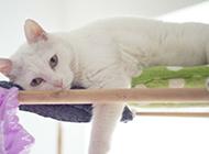 白色中華田園貓懶洋洋圖片大全