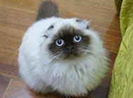 圆滚滚的喜马拉雅种猫图片