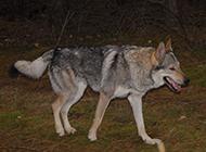 捷克狼犬野外霸氣特寫圖片