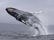 海洋里飞跃的蓝鲸鱼图片