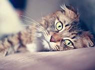黄虎斑猫懒洋洋图片壁纸