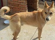 中華田園犬傲嬌眼神圖片