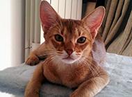 机灵聪慧的埃及猫图片