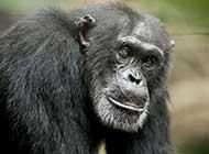 呆呆的黑猩猩高清壁纸