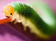 常见昆虫图片可爱的毛毛虫高清特写