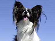 漂亮的寵物狗蝴蝶犬圖片