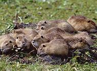 草地上的一窩海貍鼠圖片