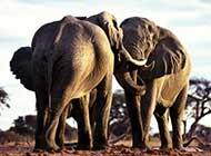 自然界长者长鼻子大象精选高清壁纸